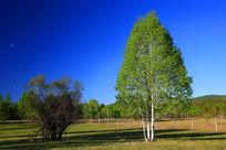 草原上的白桦