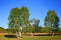 蓝天下的白桦树