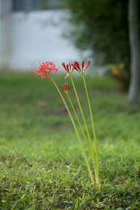 草坪上长出的彼岸花