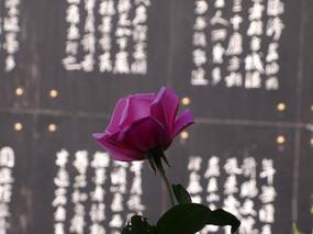 侧面紫色的玫瑰花