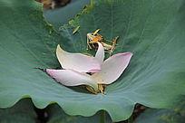 粉色的荷花花瓣
