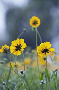 黄色野菊花