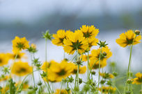 黄色野菊花背景