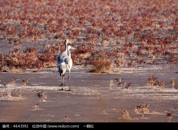 湿地沼泽中的灰鹤图片