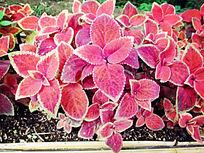 泰国未知植物