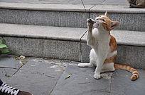 黄猫抓住了项链咬一咬