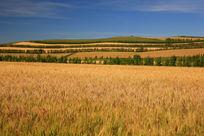 蓝天下金色的麦田