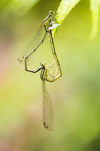 绿叶昆虫蜻蜓微距
