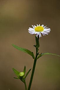 白色的小野菊花