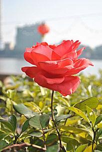 城市里静静开放的玫瑰花