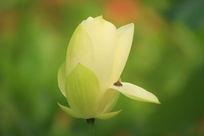 含苞待放在白荷花