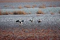 湿地滩涂中的灰鹤一家