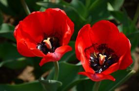 红艳欲滴的郁金香