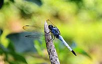 树枝上一只蜻蜓
