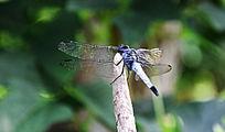 树枝上一只美丽的蜻蜓