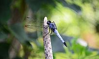 蜻蜓停在树枝上