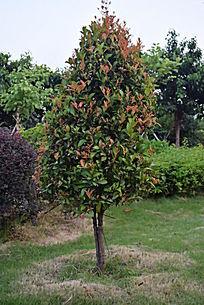 一棵红色绿叶叶子的树木