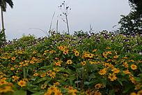 黄色野菊和紫色牵牛花