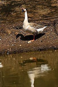 水岸边的家禽大鹅高清拍摄