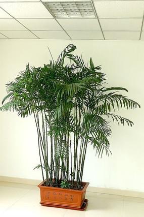 富贵竹盆景