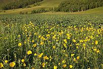 原野盛开野罂粟