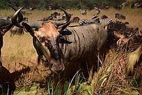 动物标本牛