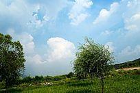 蓝天白云下的草原树木