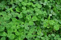 绿色的三叶草
