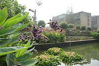 特写池边花朵
