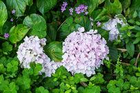 植物花卉绣球花微距