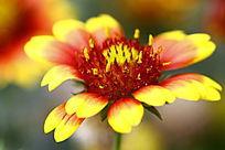 红黄相间的漂亮小菊花