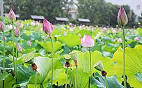 满池的荷花与莲蓬