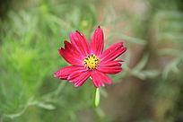 盛开的鲜艳小红花