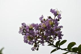 盛开的紫薇