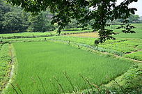 水稻田园风景