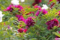 鲜艳的牡丹花丛