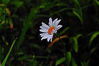 雨后盛开的白色野菊花