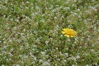 杂草丛中的小菊花