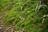 植物苔藓青苔地衣