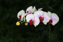 白色的蝴蝶兰