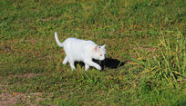 草地上可爱的小白猫