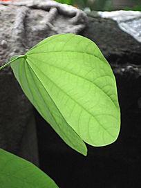 淡绿色叶子