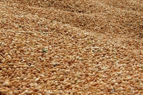 收割机打好归仓的小麦粒