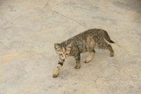 行走中的小猫