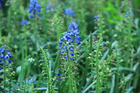 蓝色的野花