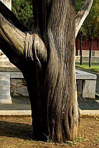 粗壮的古树树干纹理肌理背景素材
