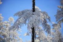 美丽的雪松