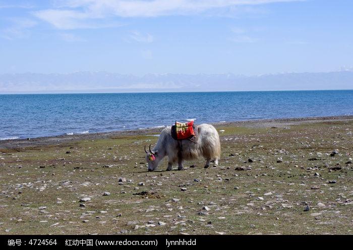 青海湖边悠闲的牦牛图片
