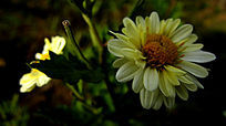 白色的菊花
