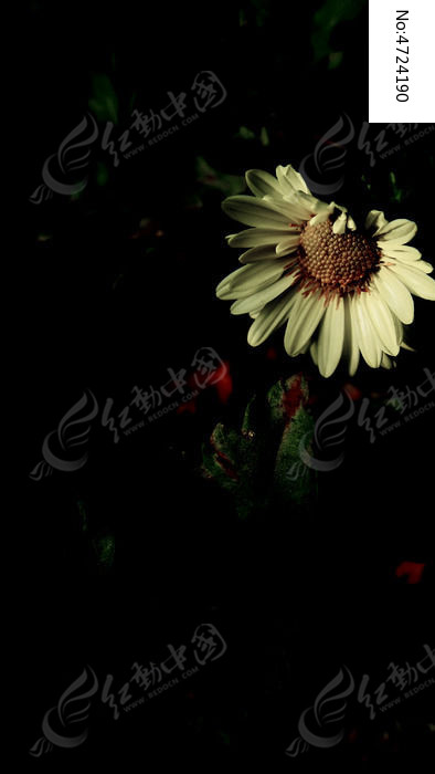 黑夜中的白色菊花图片